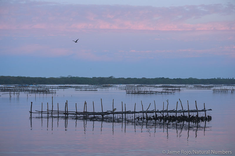 Oyster collecting platforms spread over a lagoon during sunset.