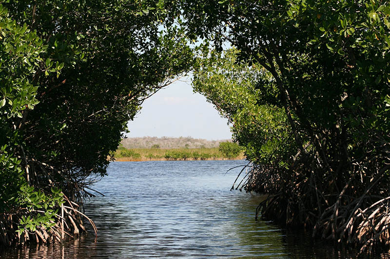 Looking through a mangrove canopy.