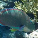 Parrotfish eating algae from corals.