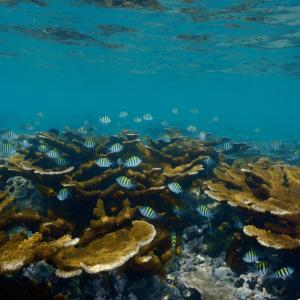 Coral ecosystem in the Gulf of Mexico.   Credit: Manuel Victoria.