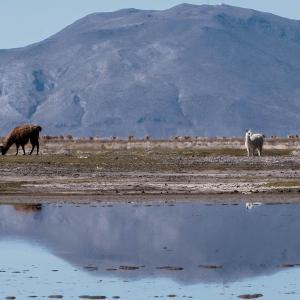 Fauna andina en el Lago Poopó, Bolivia