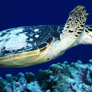 ¡Buenas noticias para la tortuga caguama!