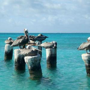 Pelicanos en el Archipiélago Los Roques, Mar Caribe