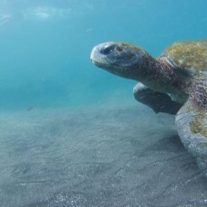 Strengthening the Sea Turtle Treaty