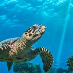 Sea turtle floating on coral reefs
