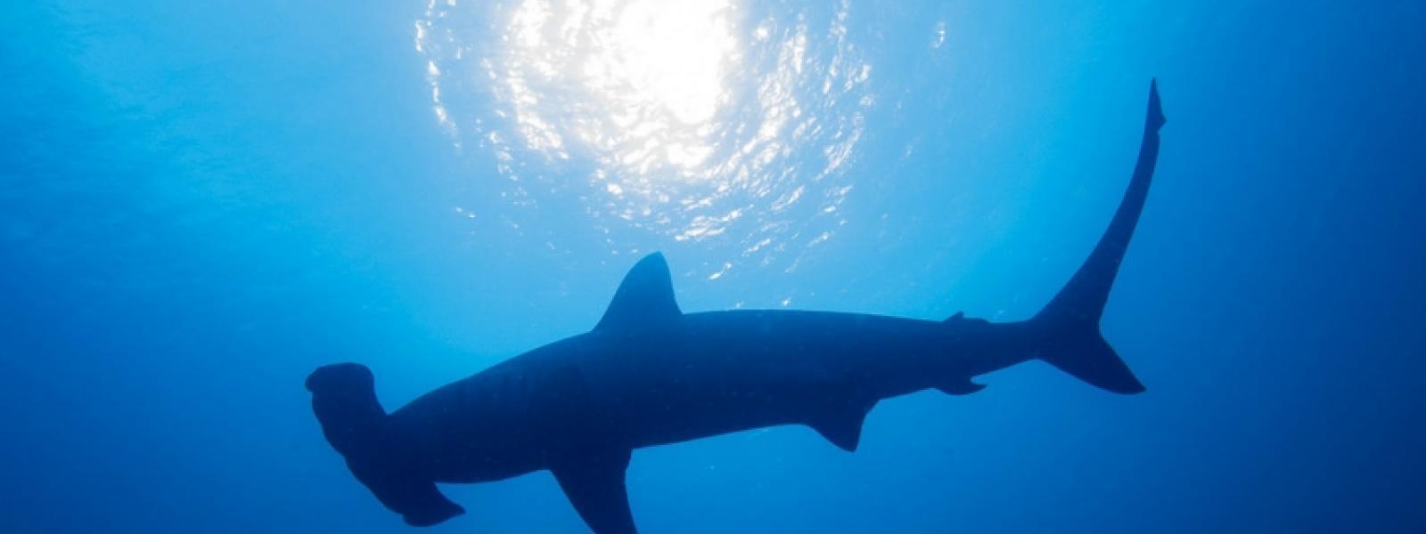 Tiburón martillo.