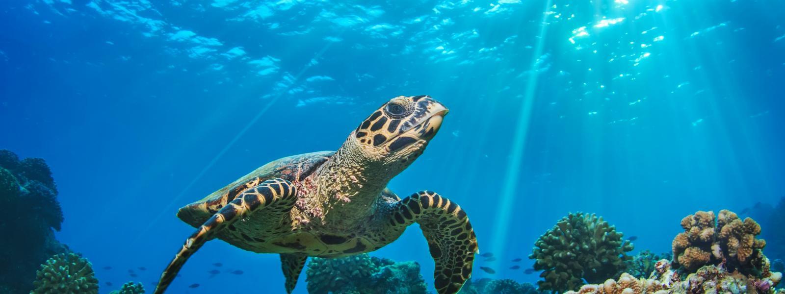 tortuga marina flotando sobre arrecifes de coral