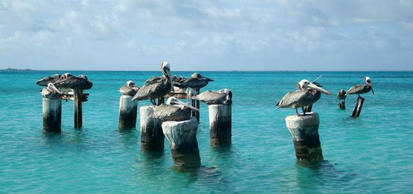 Pelicans in Los Roques Archipelago, Caribbean Sea