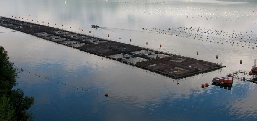 Farmed salmon in Chile