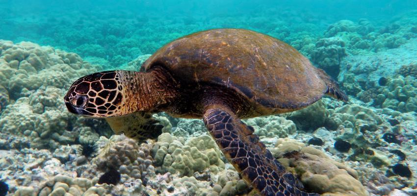 Una tortuga verde nada sobre un arrecife de coral. | Crédito: Brocken Inaglory
