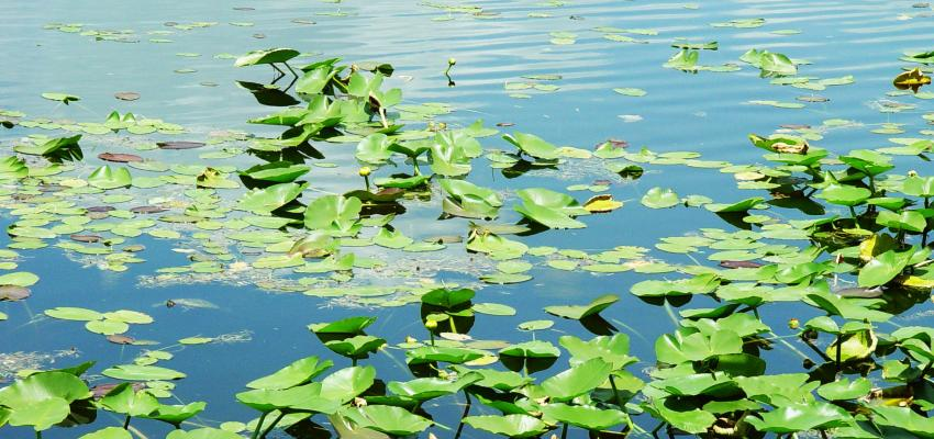 A view of green vegetation floating in a marsh ecosystem.